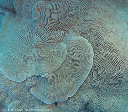 BD-090406-St-Johns-4062796-Pachyseris-speciosa-(Dana.-1846)-[Serpent-coral].jpg